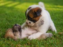 The puppy dog fighting stock images