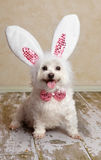 Puppy dog wearing bunny rabbit ears costume Royalty Free Stock Photos