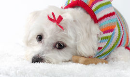Puppy dog wearing a knitted jumper lying in snow Royalty Free Stock Photos