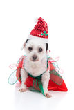 Puppy dog wearing a red and green dress. Cute white dog wearing a red and green dress and santa hat for Christmas.  White background Royalty Free Stock Photo