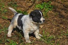 Puppy dog white black Stock Photos
