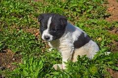 Puppy dog white black Stock Images