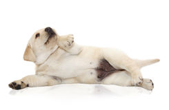Yellow labrador puppy dog Stock Photography