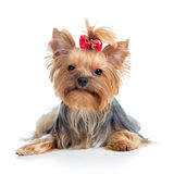 Puppy dog yorkshire terrier on white background Stock Images
