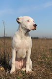 Puppy dogo argentino royalty free stock photography