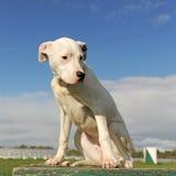 Puppy dogo argentino Stock Image