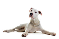 Puppy dogo argentino Stock Photo