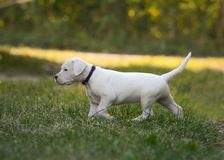 Puppy Dogo Argentino going in grass. Front view. The sweet puppy Dogo Argentino going in grass. Front view royalty free stock photo