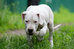 Puppy dogo argentino in the grass Royalty Free Stock Image