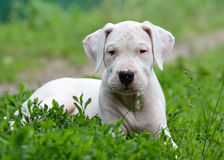 Puppy dogo argentino lying in the grass. In the grass summer stock images