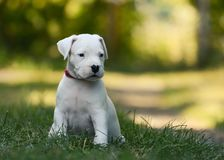 Puppy Dogo Argentino sitting in grass. Front view. The sweet puppy Dogo Argentino sitting in grass summer stock image