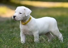 Puppy Dogo Argentino standing in grass. Front view. The sweet puppy Dogo Argentino standing in grass. Front view royalty free stock image