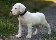 Puppy Dogo die Argentino zich in gras bevinden Front View Royalty-vrije Stock Afbeelding