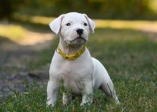 Puppy Dogo die Argentino zich in gras bevinden Front View Stock Foto