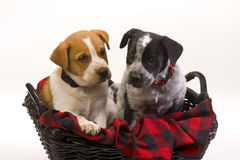 Puppy dogs in basket Stock Images