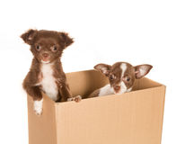 Puppy dogs in a box. Two puppy chihuahua dogs in a brown paper box Royalty Free Stock Photography