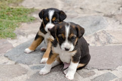 Puppy dogs. Cute puppy dogs three months old royalty free stock photography