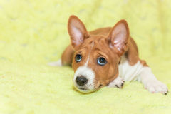 Puppy dogs not barking African dog breed basenji Royalty Free Stock Image