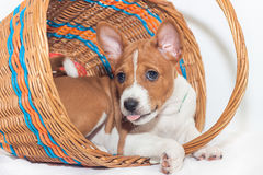 Puppy dogs not barking African dog breed basenji Royalty Free Stock Photo
