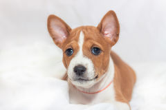 Puppy dogs not barking African dog breed basenji Royalty Free Stock Photography