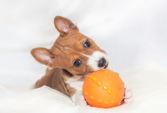 Puppy dogs not barking African dog breed basenji Royalty Free Stock Images