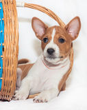 Puppy dogs not barking African dog breed basenji Royalty Free Stock Photos