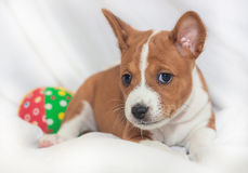 Puppy dogs not barking African dog breed basenji. Beautiful, cute puppy dogs not barking African dog breed basenji Royalty Free Stock Image