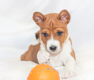 Puppy dogs not barking African dog breed basenji. Beautiful, cute puppy dogs not barking African dog breed basenji Stock Photo
