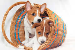 Puppy dogs not barking African dog breed basenji. Beautiful, cute puppy dogs not barking African dog breed basenji Royalty Free Stock Photos