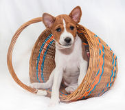 Puppy dogs not barking African dog breed basenji. Beautiful, cute puppy dogs not barking African dog breed basenji Royalty Free Stock Photo