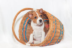 Puppy dogs not barking African dog breed basenji. Beautiful, cute puppy dogs not barking African dog breed basenji Stock Image
