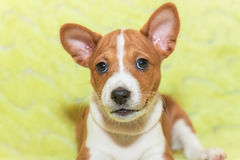 Puppy dogs not barking African dog breed basenji. Beautiful, cute puppy dogs not barking African dog breed basenji Royalty Free Stock Images