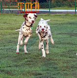 Puppy dogs running. Two energetic Dalmatian puppies running very fast across the grass in the early morning sunlight with dew on the grass royalty free stock photos