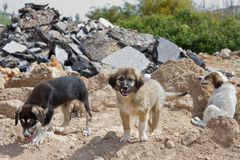 Puppy Dogs. Three Different Kind of Puppy Dogs Outdoors Royalty Free Stock Photos