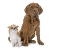 Puppy Dogue de Bordeaux and chihuahua Stock Photo
