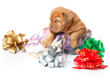 Puppy of Dogue de Bordeaux (French mastiff) Royalty Free Stock Images