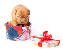 Puppy of Dogue de Bordeaux (French mastiff) Royalty Free Stock Image