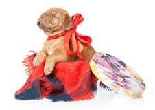 Puppy of Dogue de Bordeaux (French mastiff) Stock Images