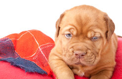 Puppy of Dogue de Bordeaux (French mastiff) Stock Photography
