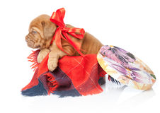 Puppy of Dogue de Bordeaux (French mastiff) Royalty Free Stock Photography