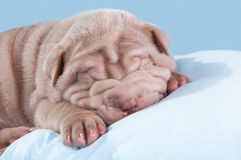 Puppy of Dogue de Bordeaux (French mastiff). Stock Image