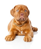 Puppy of Dogue de Bordeaux (French mastiff) Stock Photos