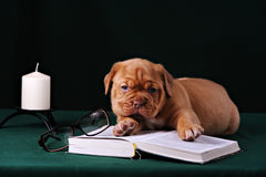 Puppy of Dogue de Bordeaux French mastiff Royalty Free Stock Image
