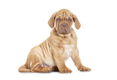 Puppy of Dogue de Bordeaux (French mastiff) over white backgroun Royalty Free Stock Images