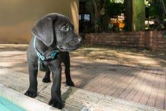 Puppy door de Pool Stock Afbeeldingen