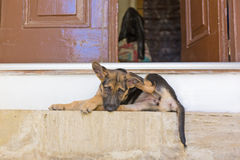 Puppy on the doorstep Royalty Free Stock Images