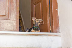 Puppy on the doorstep Stock Image