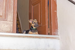 Puppy on the doorstep Royalty Free Stock Photography