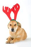 Puppy dressed as a reindeer Royalty Free Stock Photography