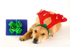 Puppy dressed as a reindeer Stock Images